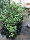 """Projeto do Cpac """" Arborizando os Municípios"""